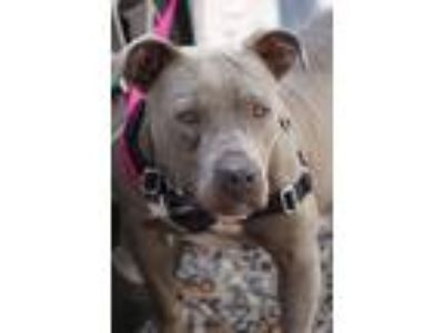 Adopt Poe a American Staffordshire Terrier