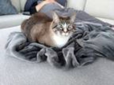 Adopt Alley a Gray or Blue (Mostly) Siamese cat in Lake Elmo, MN (25332354)