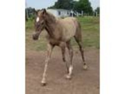 silver dapple filly will be big and smooth