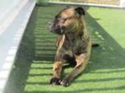 Adopt Lola a Brindle Boxer / Pit Bull Terrier / Mixed dog in Kill Devil Hills