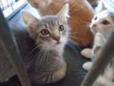 Adopt Dalia a Gray or Blue Domestic Shorthair / Domestic Shorthair / Mixed cat