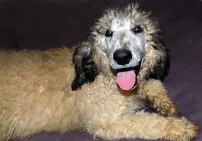 Poodle (Standard) PUPPY FOR SALE ADN-64090 - AKC Tricolor Silver Sable Poodle Puppy