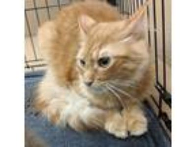 Adopt CI#3-jan18 a Orange or Red Domestic Mediumhair / Domestic Shorthair /