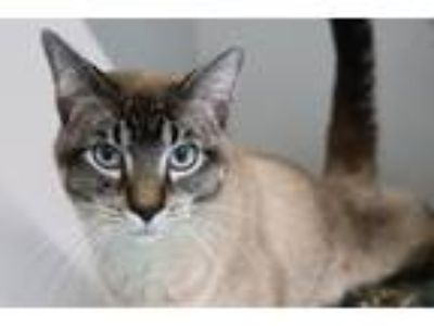 Adopt Pharaoh a Siamese / Mixed (short coat) cat in Dearborn, MI (25294971)