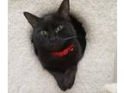 Adopt Mancala a All Black Domestic Shorthair / Mixed cat in Rochester