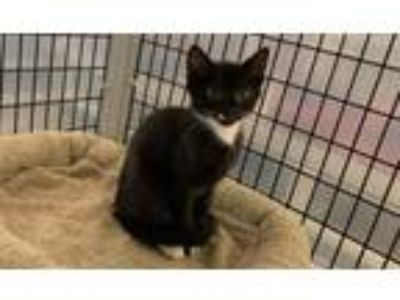 Adopt Lauren Bacall a Domestic Shorthair / Mixed (short coat) cat in Raleigh