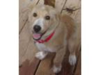 Adopt Sandy (GREAT Pup) a Border Collie, Golden Retriever