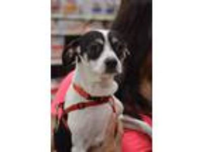 Adopt Stella a Toy Fox Terrier