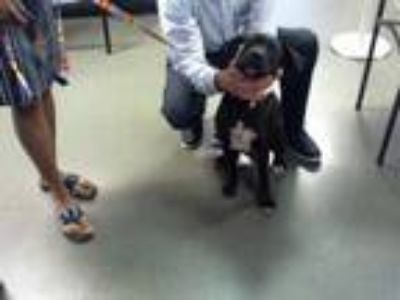 Adopt MARTIN a Black Labrador Retriever / Mixed dog in Charlotte, NC (25324515)