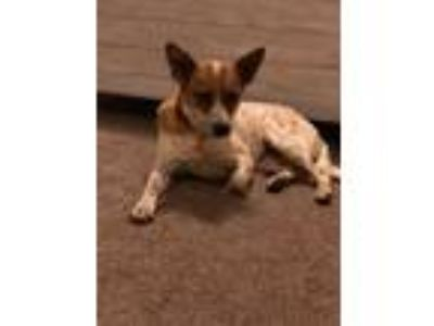 Adopt KRISTY a Cattle Dog