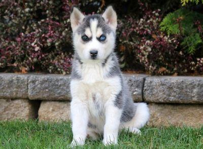 Siberian Husky PUPPY FOR SALE ADN-51894 - Siberian Husky Puppy For Sale