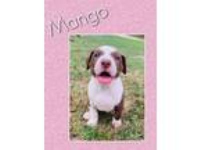 Adopt Mango a Red/Golden/Orange/Chestnut - with White American Staffordshire