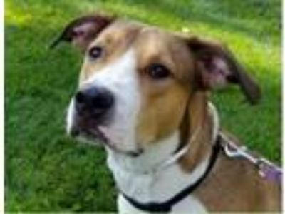 Adopt Bomber a Greater Swiss Mountain Dog, Labrador Retriever