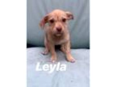 Adopt Layla a White Terrier (Unknown Type, Small) / Mixed Breed (Small) / Mixed