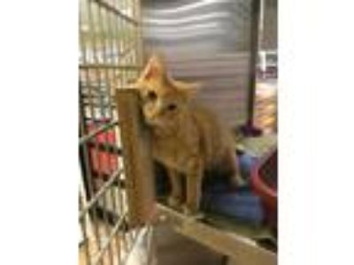 Adopt Frank a Orange or Red Tabby Domestic Shorthair (short coat) cat in