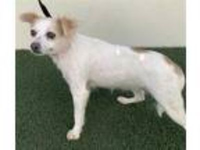 Adopt DAISY a White - with Tan, Yellow or Fawn Cairn Terrier / Mixed dog in
