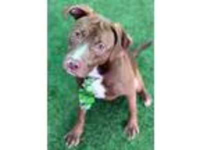 Adopt Thor a Red/Golden/Orange/Chestnut American Pit Bull Terrier / Mixed dog in