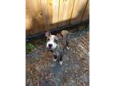 Adopt Alec a Brown/Chocolate American Pit Bull Terrier / Mixed dog in New Port