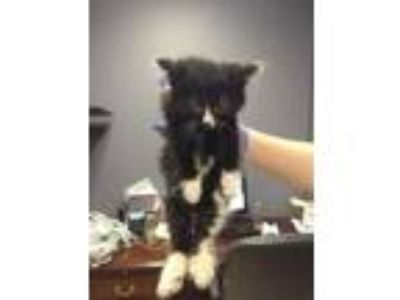Adopt stinky a All Black Domestic Mediumhair / Domestic Shorthair / Mixed cat in