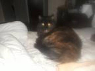 Adopt Whitney a Tortoiseshell Maine Coon cat in Hayward, CA (24848132)