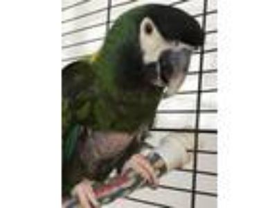 Adopt Vacca a Macaw bird in Punta Gorda, FL (18206843)