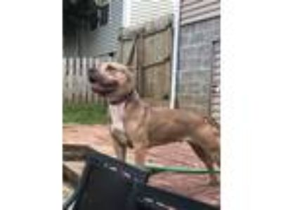 Adopt Mia a Tan/Yellow/Fawn - with White Pit Bull Terrier / American