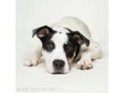Adopt Adelaide a Australian Cattle Dog / American Pit Bull Terrier / Mixed dog