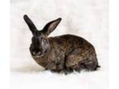 Adopt Lacy a Bunny Rabbit