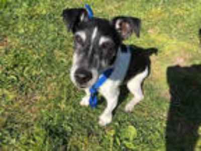 Adopt SNOOPY a Black - with White Jack Russell Terrier / Mixed dog in San Jose