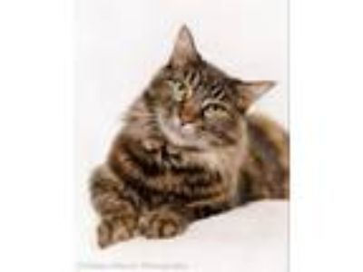 Adopt Starr a Domestic Medium Hair, Maine Coon