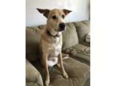Adopt Samson a Tan/Yellow/Fawn - with White Labrador Retriever / Terrier