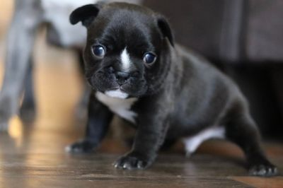 French Bulldog PUPPY FOR SALE ADN-110768 - French Bulldog Puppies