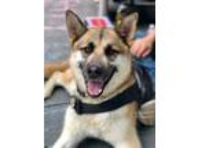 Adopt Grizzly a German Shepherd Dog
