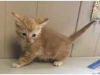 Adopt Kia a Orange or Red Domestic Shorthair / Domestic Shorthair / Mixed cat in