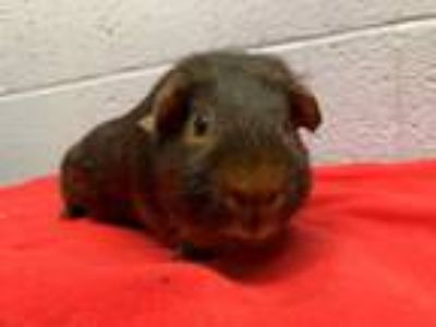 Adopt Willie, 8608 a Guinea Pig, Short-Haired