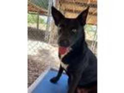 Adopt HOLLY a Shepherd (Unknown Type) / Mixed dog in Quinlan, TX (20347261)