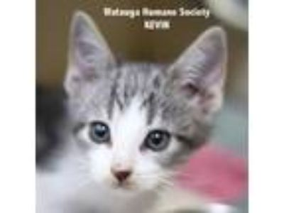 Adopt Kevin a Gray or Blue Domestic Shorthair / Domestic Shorthair / Mixed cat