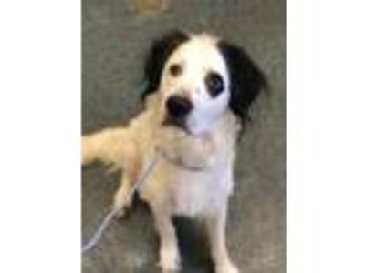 Adopt RASCAL a White - with Black English Setter / Border Collie / Mixed dog in