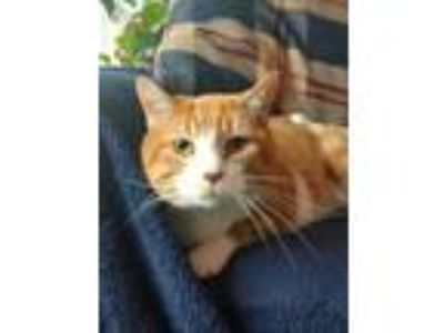 Adopt Bobbie a Domestic Short Hair