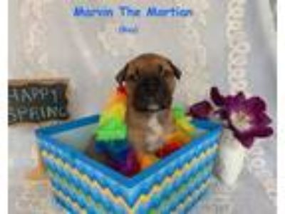 Adopt Marvin the Martian Talbot-A Cartoon Pup a Mountain Cur, Shar-Pei