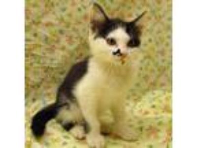 Adopt Marilyn a White American Shorthair / Domestic Shorthair / Mixed cat in