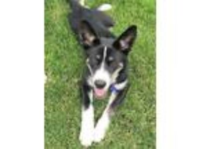 Adopt Sasha a Black - with White Husky / Mixed dog in Schaumburg, IL (25349484)