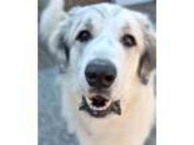 Adopt Clarke a Great Pyrenees, Mixed Breed