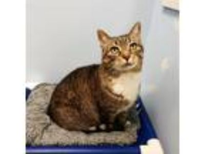Adopt Meredith a Domestic Short Hair