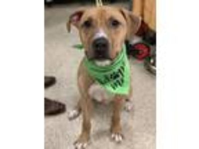 Adopt Ned a Pit Bull Terrier