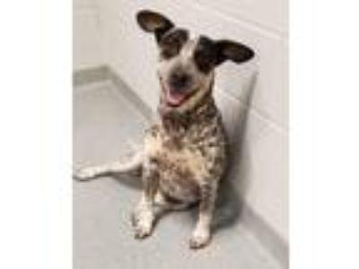 Adopt Miley a Cattle Dog