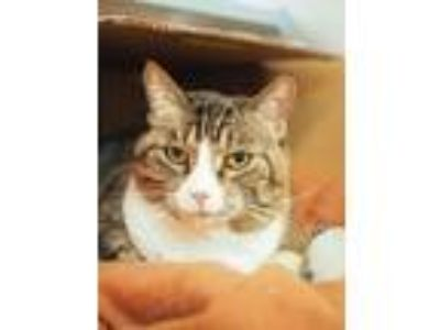 Adopt Sweetie Cat a Domestic Short Hair