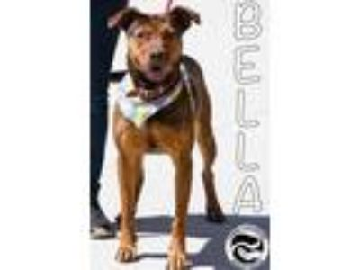 Adopt Bella Brown a Brown/Chocolate Labrador Retriever / Doberman Pinscher /