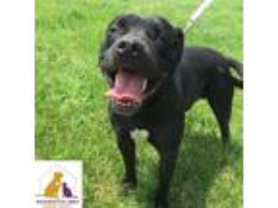 Adopt Angus a Black Pit Bull Terrier / Mixed dog in Eighty Four, PA (25563329)