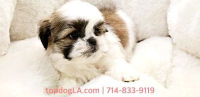 Shihtzu Puppy - Male - Skittles ($1,399)
